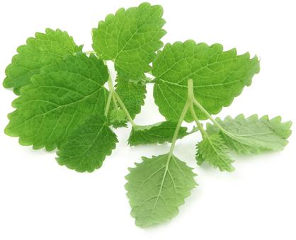 Herbs for Good Health: Lemon Balm