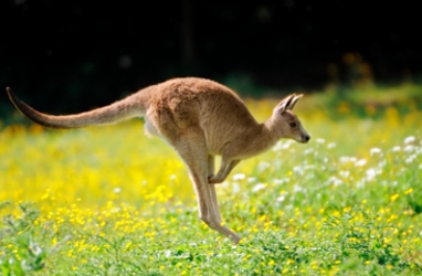 Biomimicry:  Studying Kangaroos for Possible Anti-Cancer Cream