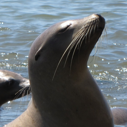 Starving California Sea Lion Pups Are Washing Ashore